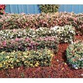 "HEDGE 3/8""X1/4""x12"" long, Flowering WHITE 1PC"